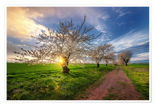 Premiumposter Cherry trees in spring