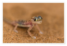 Premiumposter Desert Gecko in the Namib desert