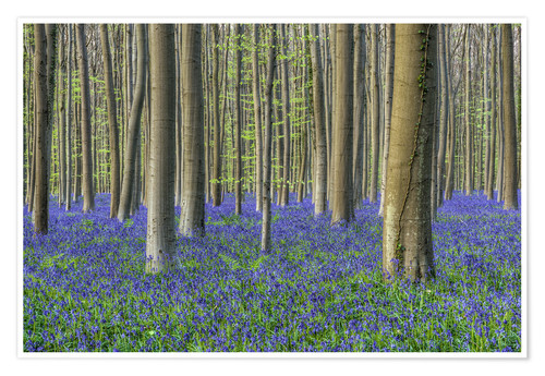 Premiumposter Bluebells in the beech forest