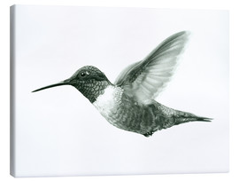 Canvastavla  Ruby Throated Hummingbird Sketch - Ashley Verkamp