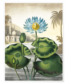 Premiumposter The blue Egyptian water-lily