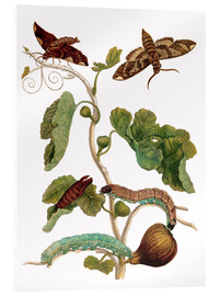 Akrylglastavla  fig tree with lepidoptera metamorphosis - Maria Sibylla Merian