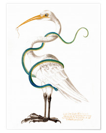 Premiumposter  Heron encircled by a snake, with a worm in his bill - Maria Sibylla Merian