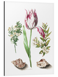 Aluminiumtavla  Tulip with two myrtle branches and two shells - Maria Sibylla Merian