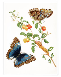 Premiumposter  Branch Of West Indian Cherry With Achilles Morpho Butterfly - Maria Sibylla Merian