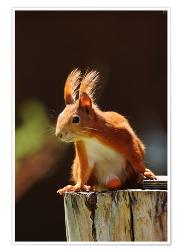 Premiumposter Red squirrel with hazelnut