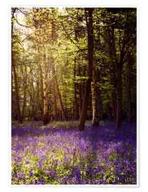 Premiumposter Sunny bluebell wood