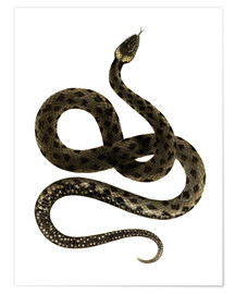 Premiumposter European Grass Snake
