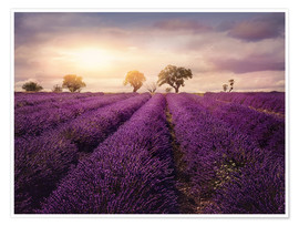 Premiumposter  Lavender field at sunset, Provence - Elena Schweitzer