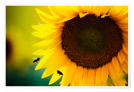 Premiumposter  Two bees in sunflower