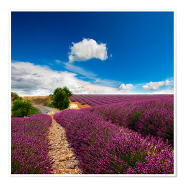 Premiumposter  Beautiful lavender field