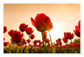 Premiumposter Red poppies