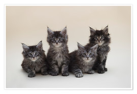 Premiumposter Maine Coon Kittens 2