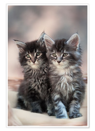 Premiumposter Maine Coon Kittens 3
