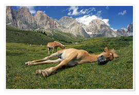 Premiumposter Peacefully sleeping Haflinger foal on a mountain meadow