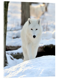 Akrylglastavla  Beautiful white wolf in the winter