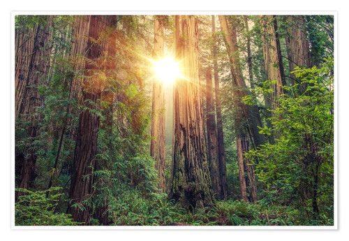 Premiumposter Redwood Forest in Northern California