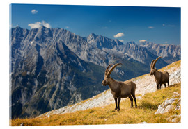 Akrylglastavla  Two Alpine Ibex in front of Mount Watzmann - Dieter Meyrl