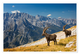 Premiumposter Two Alpine Ibex in front of Mount Watzmann