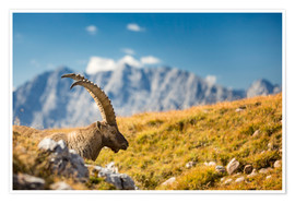 Premiumposter Alpine Ibex in front of Mount Watzmann