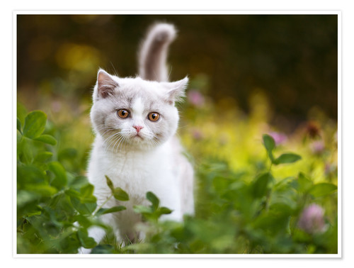 Premiumposter Kitten on a green meadow
