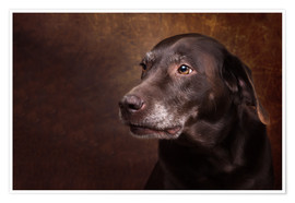 Premiumposter Old Chocolate Labrador Portrait