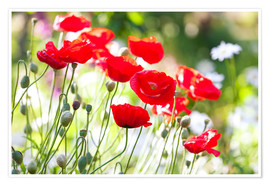 Premiumposter  Red poppies on a sunny day