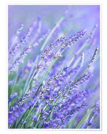 Premiumposter  Purple Lavender
