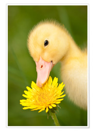 Premiumposter Duckling with dandelion