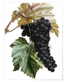 Premiumposter Grape Muscat Noir