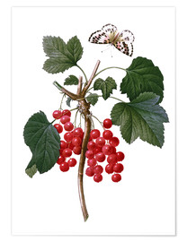 Premiumposter red currant