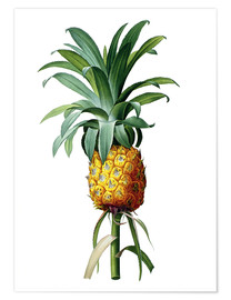 Premiumposter Bromelia Pineapple