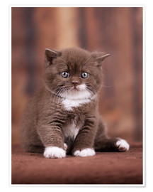 Premiumposter Teddy - British shorthair catbaby