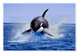 Premiumposter  Jump of the orca - Gérard Lacz