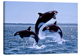 Canvastavla  Jumping killer whales - Gérard Lacz