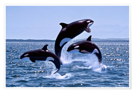 Premiumposter Jumping killer whales