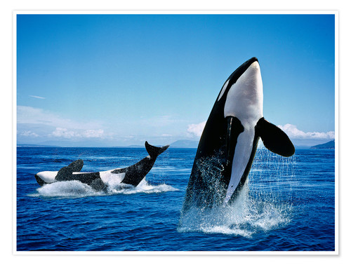 Premiumposter Performance of the killer whales