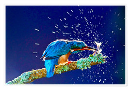 Premiumposter  Common Kingfisher stunning fish against branch - FLPA