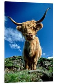 Akrylglastavla  Scottish highland cattle - Duncan Usher