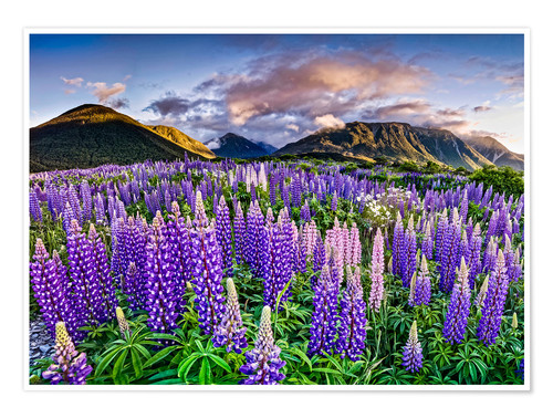 Premiumposter Lupines at Arthur's Pas