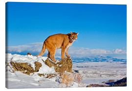 Canvastavla  Puma standing on rock in snow, Rocky Mountains - FLPA
