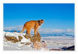 Premiumposter Puma standing on rock in snow, Rocky Mountains