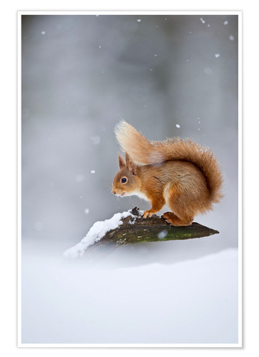 Premiumposter Eurasian Red Squirrel standing on branch in snow
