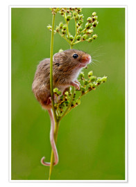 Premiumposter Harvest Mouse climbing Meadowsweet