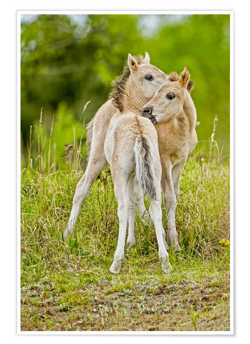 Premiumposter Konik, wild horse, two foals playing