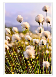 Premiumposter Flowering Tussock Cottongrass