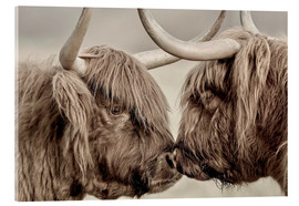Akrylglastavla  Two Scottish highland cattle - imageBROKER