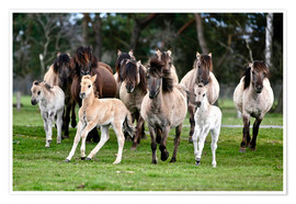 Premiumposter Dülmen pony herd with foals