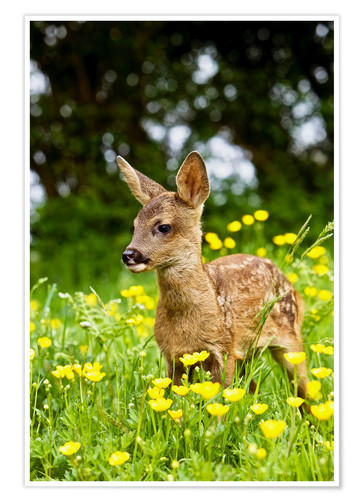 Premiumposter Roe Deer fawn in flower meadow, Normandy