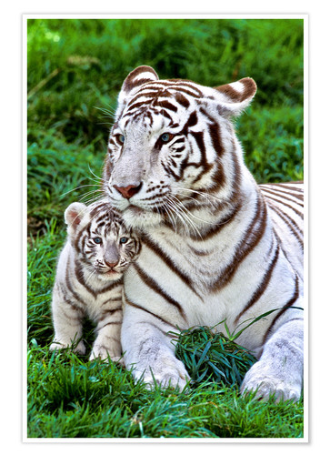 Premiumposter White tiger mother with child
